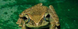Descubren 200 nuevas especies de anfibios en la isla de Madagascar