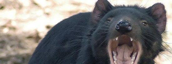 Descubierto el origen del cáncer que diezma a los demonios de Tasmania