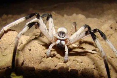 Hallan una nueva especie de araña gigante