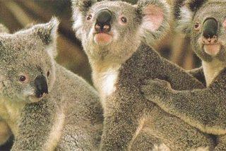 Sexo entre koalas en el Open Australia