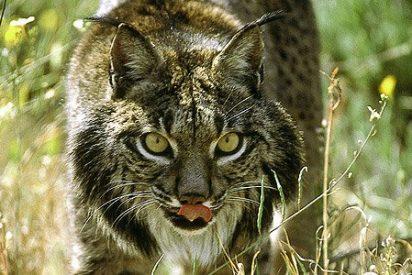 Las diez especies españolas que necesitan protección urgente