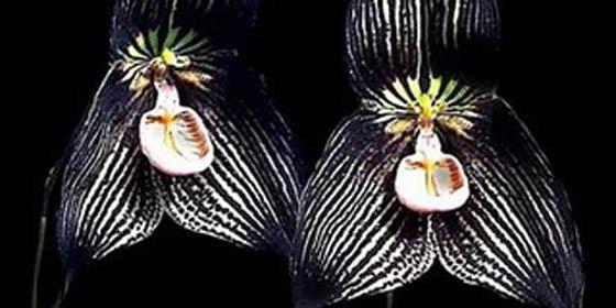 """Identifican en Ecuador 56 especies de orquídeas """"drácula"""""""