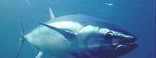 La UE quiere prohibir el comercio mundial de atún