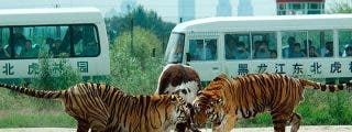 Los tigres devoran vacas vivas para que los turistas saquen fotos