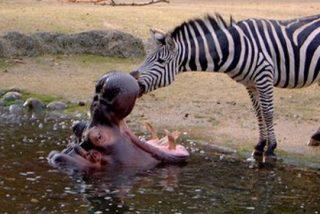 La cebra que se metió en la boca del hipopótamo