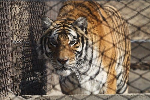 Un tigre siberiano 'se merienda' a un empleado de un parque natural