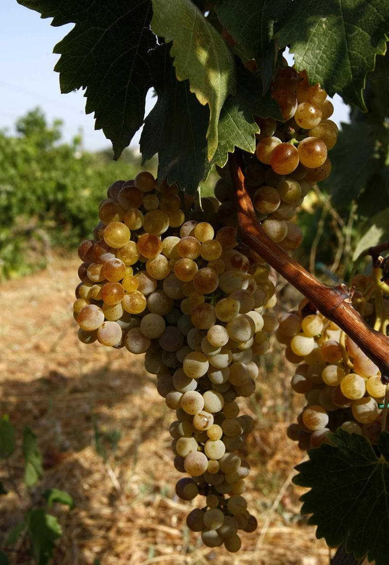 """Una molécula de las uvas, """"eficiente"""" contra la colitis ulcerosa"""