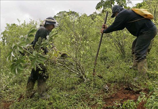 Ataque a un grupo que erradicaba cultivos coca deja tres muertos y un desaparecido