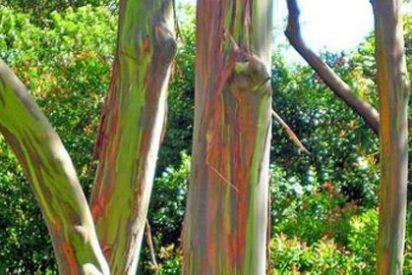 Eucalipto 'arco iris', el árbol más colorido del mundo