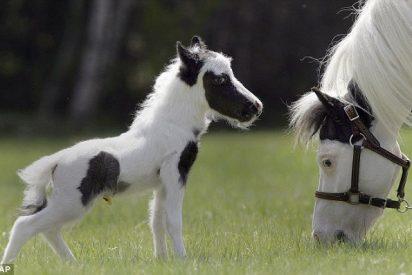 Nace el caballo más pequeño de mundo