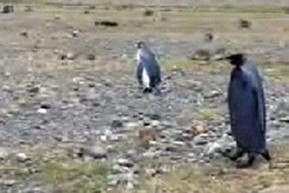 Un pingüino completamente negro fue hallado en la Antártida