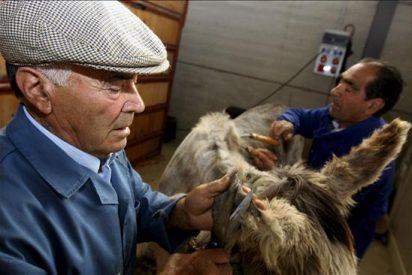 Tomás Cid, uno de los pocos esquiladores de burros que aún practica el oficio