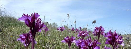 Castilla-La Mancha cobija una gran parte de las orquídeas silvestres de la península Ibérica