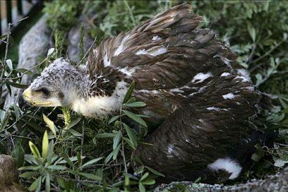 Nace en Sevilla el octavo pollo de águila imperial incubado artificialmente