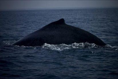 Maquieira asegura que el futuro de las ballenas depende de la negociación en la CBI