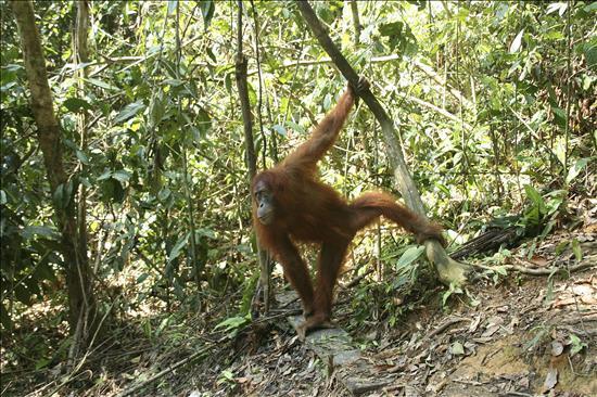 España ayuda a Indonesia a censar la especie más amenazada de orangutanes