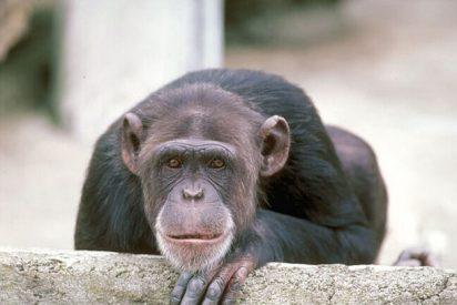 Los juguetes sexuales no son exclusivos de los humanos, los chimpancés también los usan