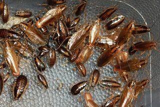'Guía de restaurantes' para cucarachas