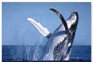 La Antártida se queda sin ballenas