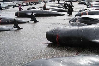 Brutal matanza de ballenas piloto en las Islas Feroe