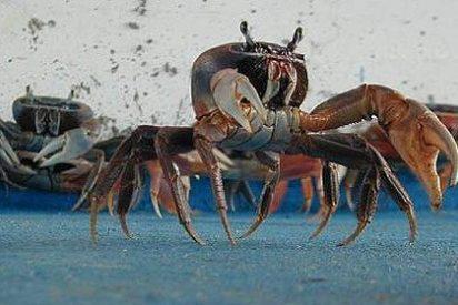 Extraña migración de cangrejos en las calles Cancún