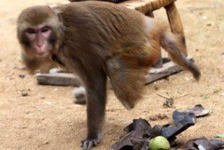 Un mono que tiene solo un brazo y una pierna mata a 80 gallinas del hombre que le salvó la vida