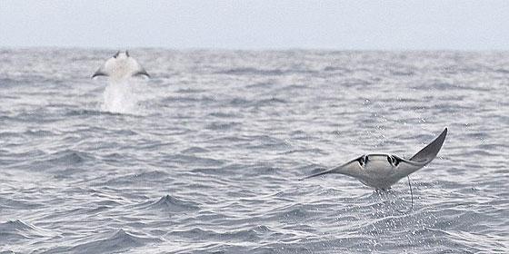 ¿Son aves marinas o peces raya voladores?