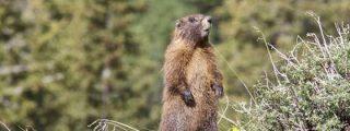 El cambio climático hace engordar a las marmotas