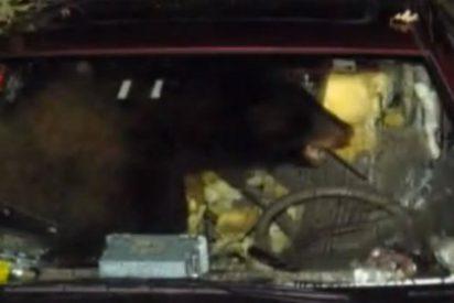 Un oso destroza un coche atraído por un sándwich de mantequilla de cacahuete