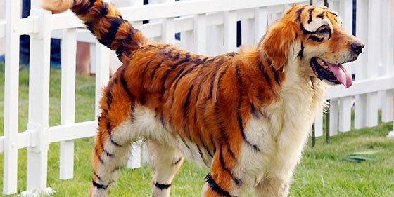 ¿Cansado del 'look' de su perro? Transfórmelo en tigre