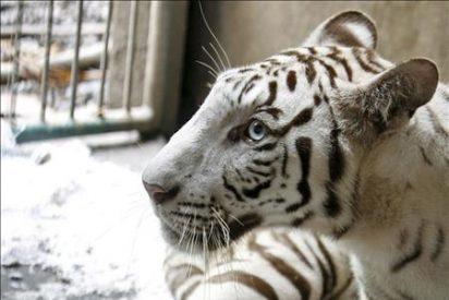 Birmania triplica la superficie del mayor santuario de tigres del mundo