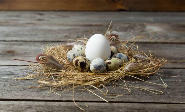 huevos de codorniz y uno de gallina