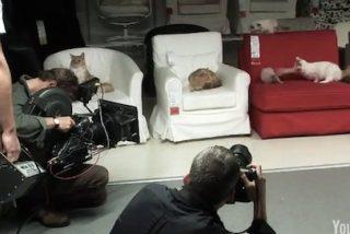 IKEA suelta a cien gatos en una de sus tiendas para grabar un anuncio publicitario