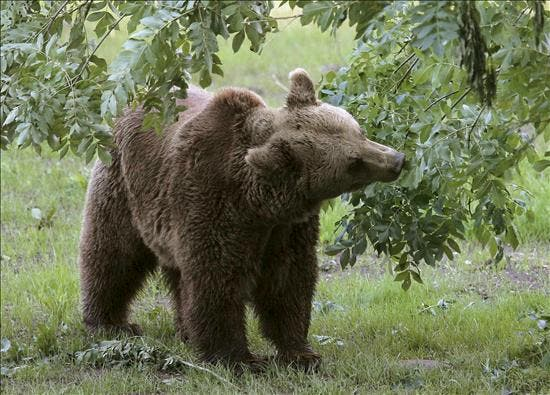 FAPAS da por extinguida la población de osos autóctonos de los Pirineos