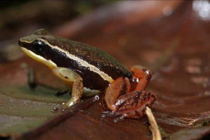Una expedición científica encuentra tres nuevos tipos de ranas en Colombia