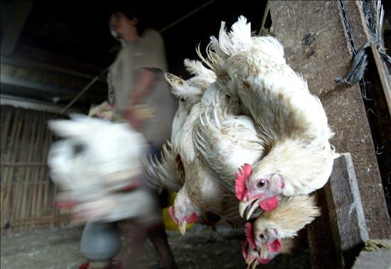 Canadá afirma que el brote de gripe aviar es de H5N2, una cepa de bajo riesgo