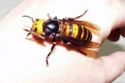 La temible avispa asiática llega a España