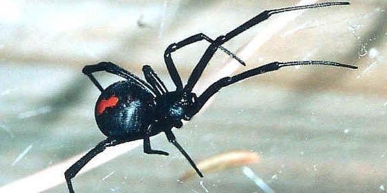 Un hombre convivirá con arañas venenosas para ayudar a una ONG