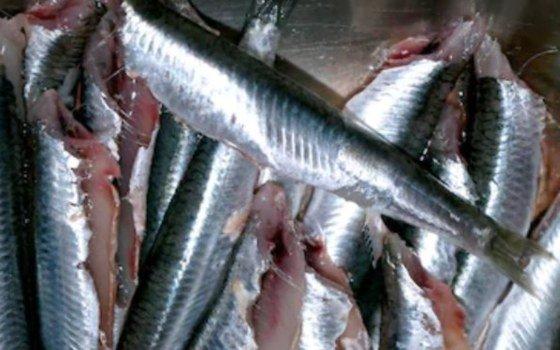 anchoa limpia