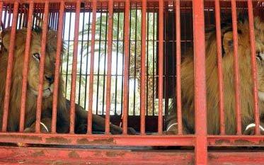 Bolivia envía a Estados Unidos un cargamento de leones
