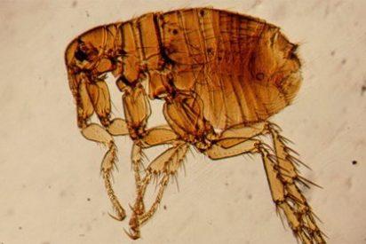 Revelan el misterio del salto de la pulga