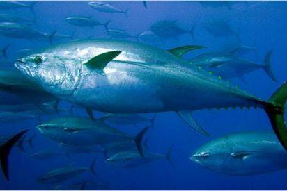 Los listísimos atunes