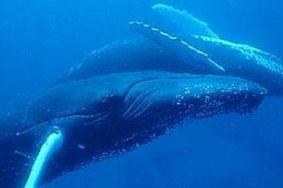 La pegadizas canciones de las ballenas