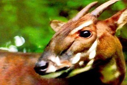 "Crean una reserva natural para proteger al ""unicornio asiático"""