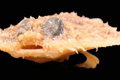 Un murciélago con forma de tortilla, entre las especies más raras de 2011