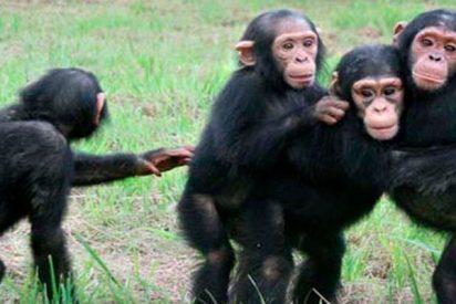¿Sabías que los chimpancés machos comparten comida a cambio de sexo?