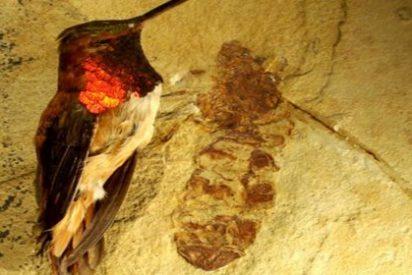 Descubren un fósil de una hormiga que medía lo que una colibrí
