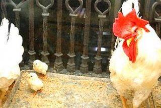 Gallo, gallina y pollitos en la Catedral