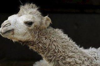 ¿Quiere salvar el Planeta?... Pues póngase ya a exterminar camellos