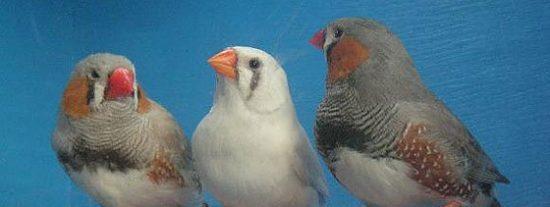 'Pájaro de cuenta': las aves llevan la promiscuidad en los genes